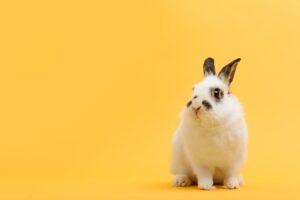 White rabbit on yellow background.