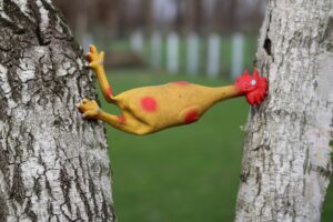 Rubber chicken dog toy stuck between two birch trees , stuck in the middle , caught in between